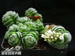 花椿Crassula Emerald�D片